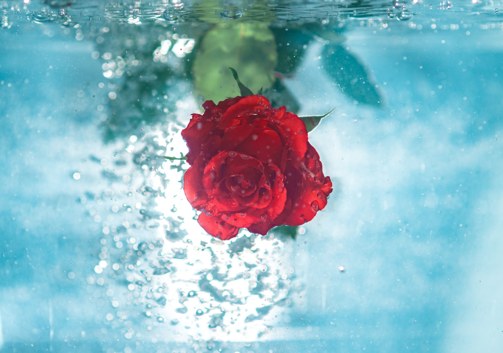 Rose with Water Background