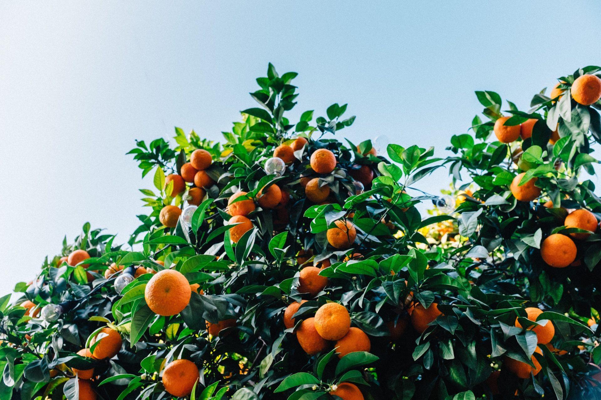 Orange Trees in Bloom