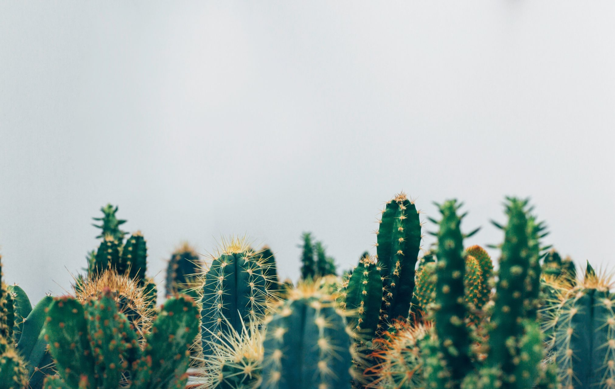 Row of cacti lining the bottom of the screen on a white background