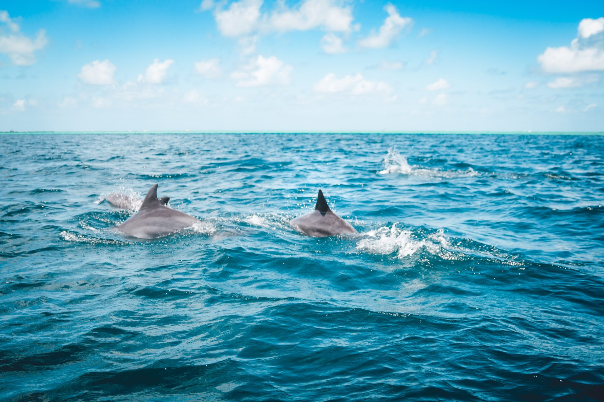 Four dolphins with their fins popping out of the water