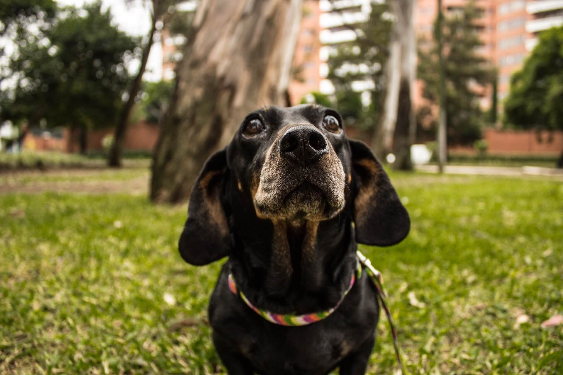 Black dachshund with a gray face looking longingly at the camera