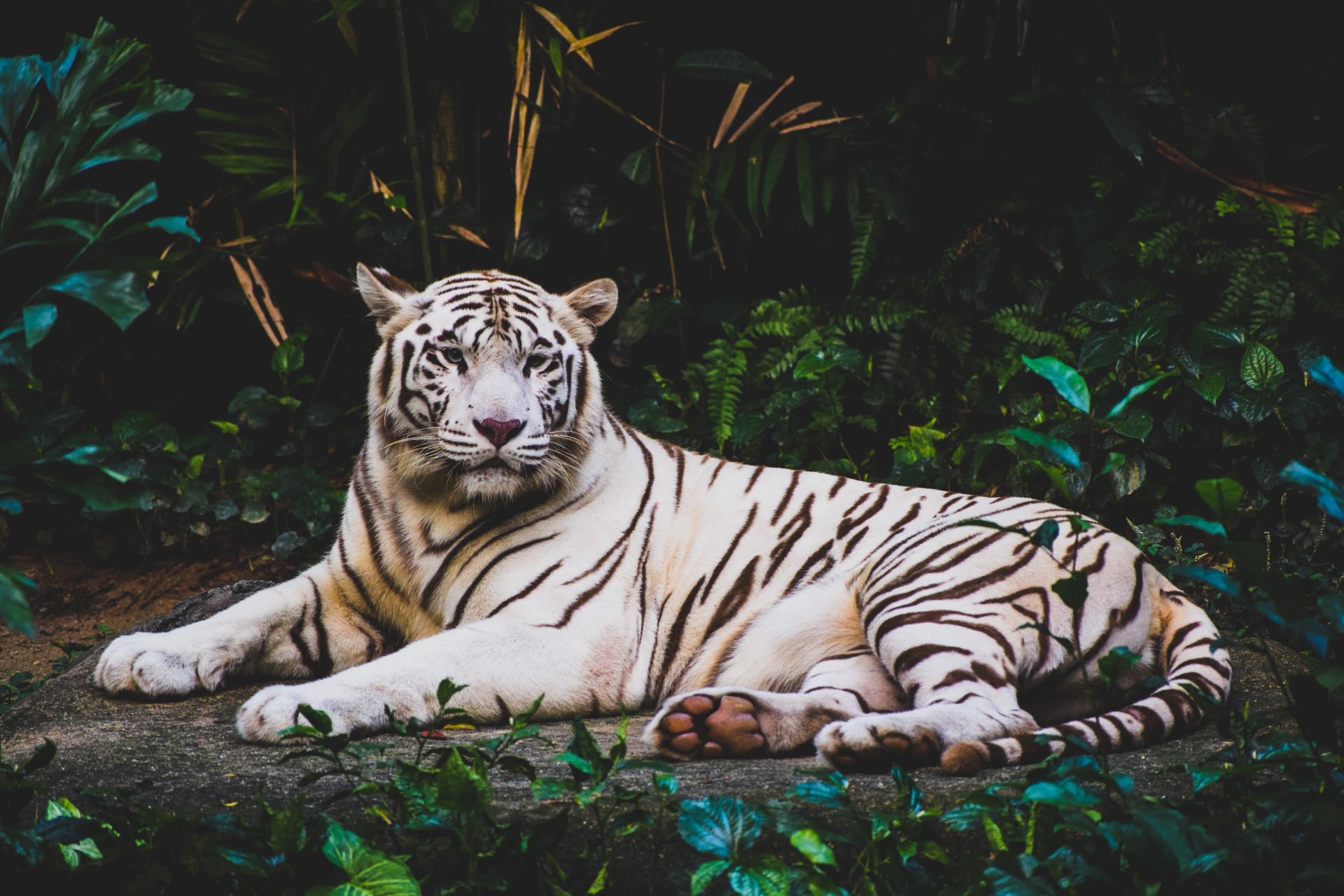 A white tiger lying in a tropical jungle
